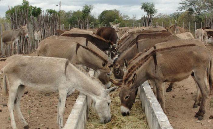ADAB regulamenta procedimentos para abate de jumentos na Bahia
